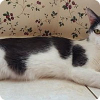 Domestic Shorthair Cat for adoption in DFW Metroplex, Texas - Charming