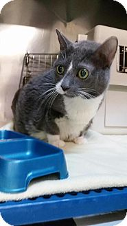 Domestic Shorthair Cat for adoption in Parkton, North Carolina - Eerie