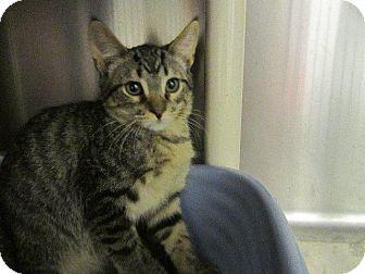 Domestic Shorthair Kitten for adoption in Grand Junction, Colorado - Randy