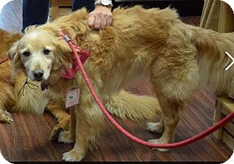 Golden Retriever Mix Dog for adoption in Fort Worth, Texas - Reba #0497