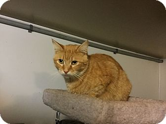Domestic Shorthair Cat for adoption in Medford, New York - Gingie