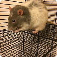 Adopt A Pet :: Steve Rodgers - Ann Arbor, MI