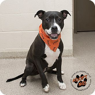 Labrador Retriever/Pit Bull Terrier Mix Dog for adoption in Troy, Ohio - Champ- URGENT