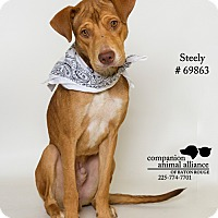 Adopt A Pet :: Steely - Baton Rouge, LA