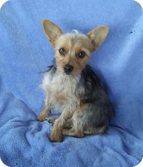 Yorkie, Yorkshire Terrier Dog for adoption in Temecula, California - Macy