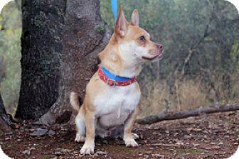 Pug/Corgi Mix Dog for adoption in Jamestown, California - Buggs