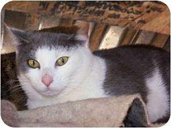 Snowshoe Cat for adoption in Winnsboro, South Carolina - Nichols