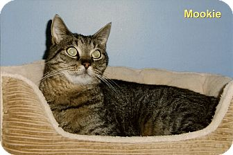 Domestic Shorthair Cat for adoption in Medway, Massachusetts - Mookie