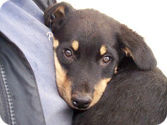 Rottweiler/Shepherd (Unknown Type) Mix Puppy for adoption in Germantown, Maryland - Rounder
