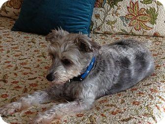 Schnauzer (Miniature)/Poodle (Standard) Mix Dog for adoption in Marietta, Georgia - Buddy