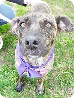 Dutch Shepherd Mix Dog for adoption in Detroit, Michigan - Pandora Adopted!
