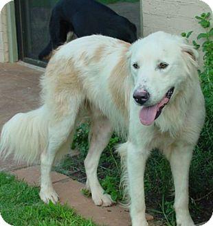 Bernese Mountain Dog Rescue Oklahoma
