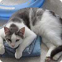 Adopt A Pet :: Snowflake - Grand Chain, IL