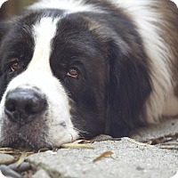 St. Bernard Dog for adoption in Bellflower, California - Benji