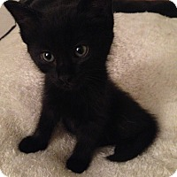 Adopt A Pet :: Velcro - San Ramon, CA