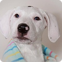 Adopt A Pet :: Pearl - Enfield, CT