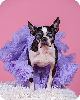 Boston Terrier Dog for adoption in Greensboro, North Carolina - Boo Boo