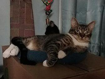 Domestic Shorthair Cat for adoption in Walnut Creek, California - Mr. Schnitzel