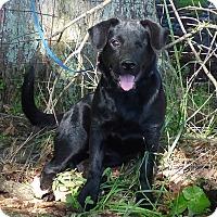 Adopt A Pet :: Petie - Hartford, CT