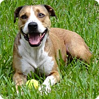American Pit Bull Terrier/American Staffordshire Terrier Mix Dog for adoption in Lake Pansoffkee, Florida - Colt