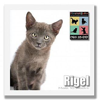 Domestic Shorthair Kitten for adoption in Palm Desert, California - Rigel