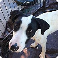 Adopt A Pet :: Taffy - Manhattan, KS