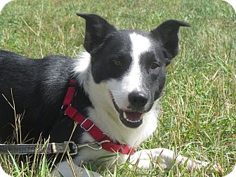 Border Collie Dog for adoption in Ridgway, Colorado - Hunter