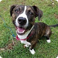 Adopt A Pet :: Ollie - Charlotte, NC