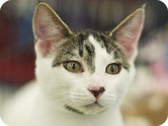 Domestic Shorthair Kitten for adoption in Great Falls, Montana - Bran