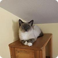 Siamese Cat for adoption in Yucaipa, California - Angora