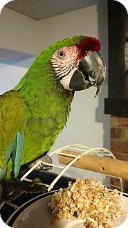 Macaw for adoption in Shawnee Mission, Kansas - Gemma
