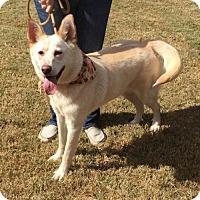 Shepherd (Unknown Type)/Husky Mix Dog for adoption in Poughkeepsie, New York - Sundance