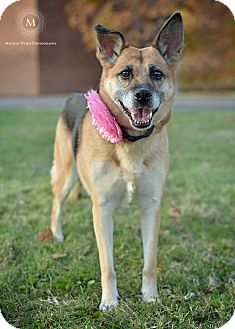 German Shepherd Dog/Beagle Mix Dog for adoption in St. Louis, Missouri - Evelyn