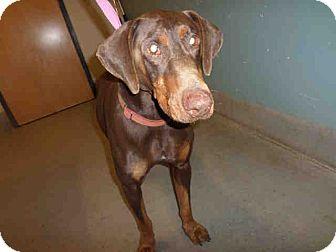 Doberman Pinscher Dog for adoption in Tracy, California - Luke