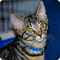 Adopt A Pet :: Meowth - Noblesville, IN