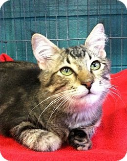 Domestic Shorthair Kitten for adoption in Seminole, Florida - Meyer
