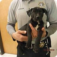 Adopt A Pet :: A571837 - Oroville, CA