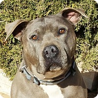 Adopt A Pet :: Spectacular Mr Smokey ~ American Bully - Albuquerque, NM