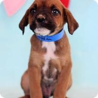 Adopt A Pet :: Adam - Waldorf, MD