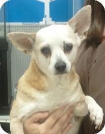 Chihuahua Dog for adoption in geneva, Florida - Blondie