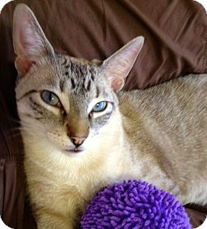 Siamese Cat for adoption in Fountain Hills, Arizona - GINSU