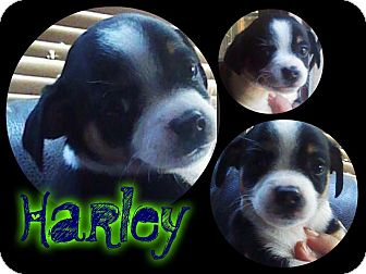 Fox Terrier (Smooth) Mix Puppy for adoption in Alamosa, Colorado - Harley