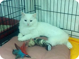 Domestic Mediumhair Cat for adoption in london, Ontario - Casper