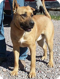 Great Dane Mix Dog for adoption in Golden Valley, Arizona - Valiant
