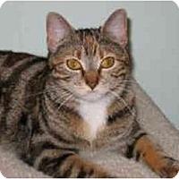 Adopt A Pet :: Sahara - Medway, MA