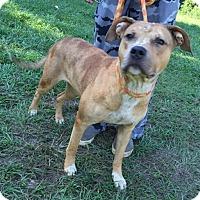 Adopt A Pet :: Amber - Dumfries, VA