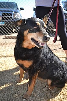 Shepherd (Unknown Type) Mix Dog for adoption in Lubbock, Texas - Sasha