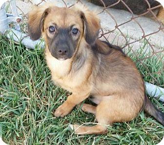 Chihuahua Mix Puppy for adoption in Orange, California - Chewbacca (ChuChu)