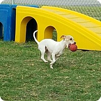 Adopt A Pet :: BONITA - Fort Worth, TX