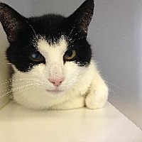 Domestic Shorthair Cat for adoption in Queenstown, Maryland - Gem